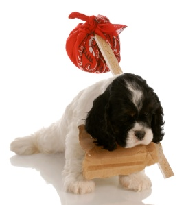 cocker spaniel puppy with sign around neck and hobo pouch